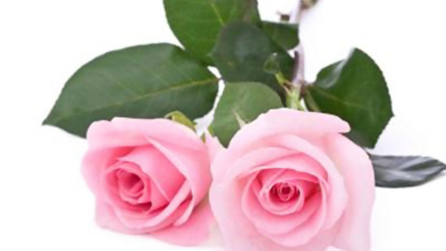 pink-roses-valentines-day-flowers_1515776493899_332004_ver1-0_31508321_ver1-0_640_360_714726