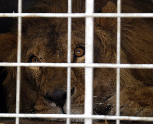 South Africa Lions Rescued