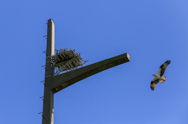 Ospreys Nesting Platforms OBX - 3