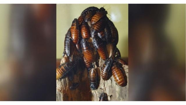cockroaches_1527461213636_43698500_ver1.0_640_360_1527464932284.JPG