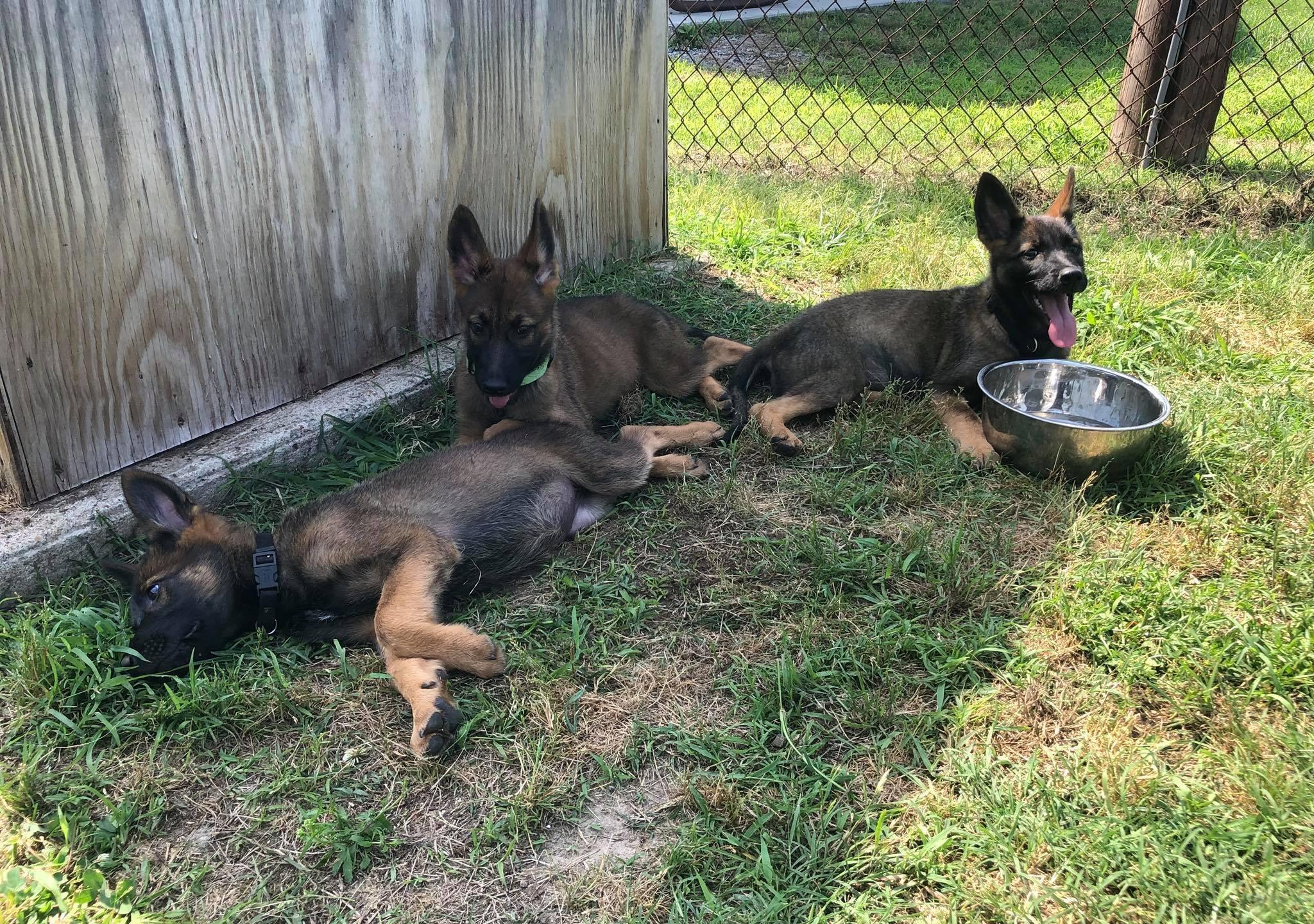 Richmond Police Puppies - 1