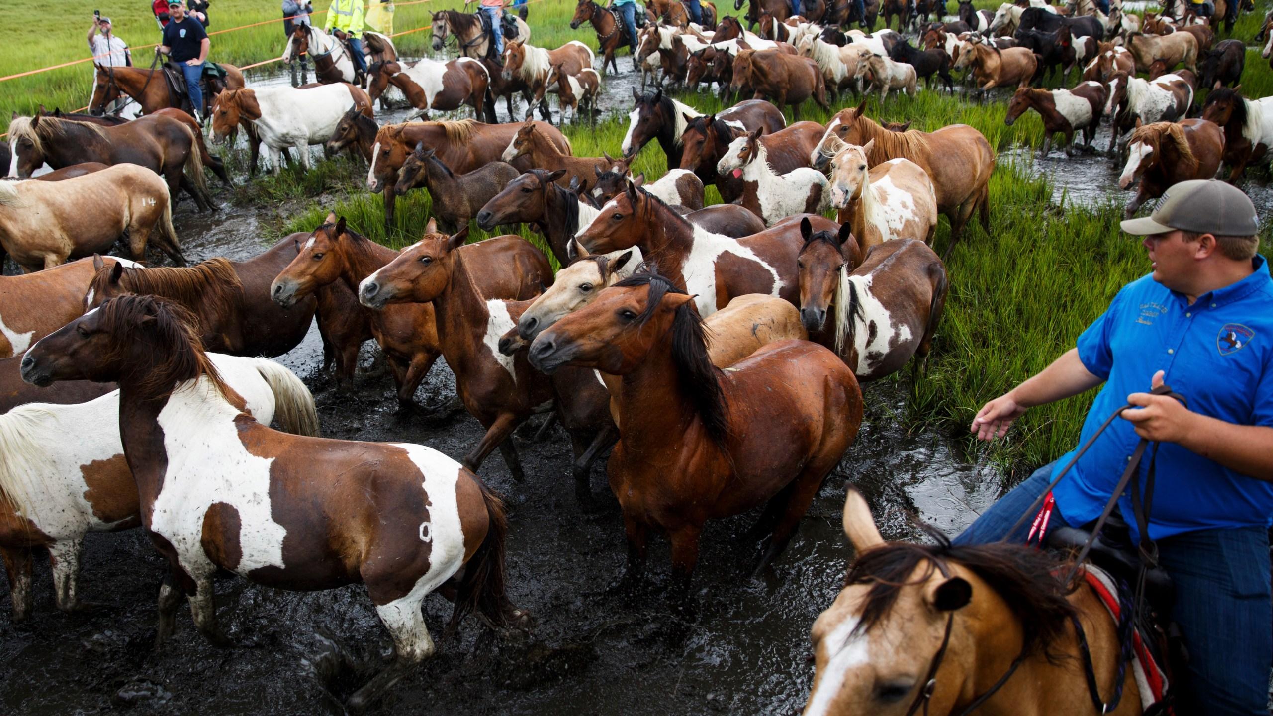 Chincoteague_Pony_Swim_43577-159532.jpg65262427
