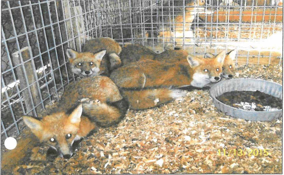 foxes_1532018075089.JPG