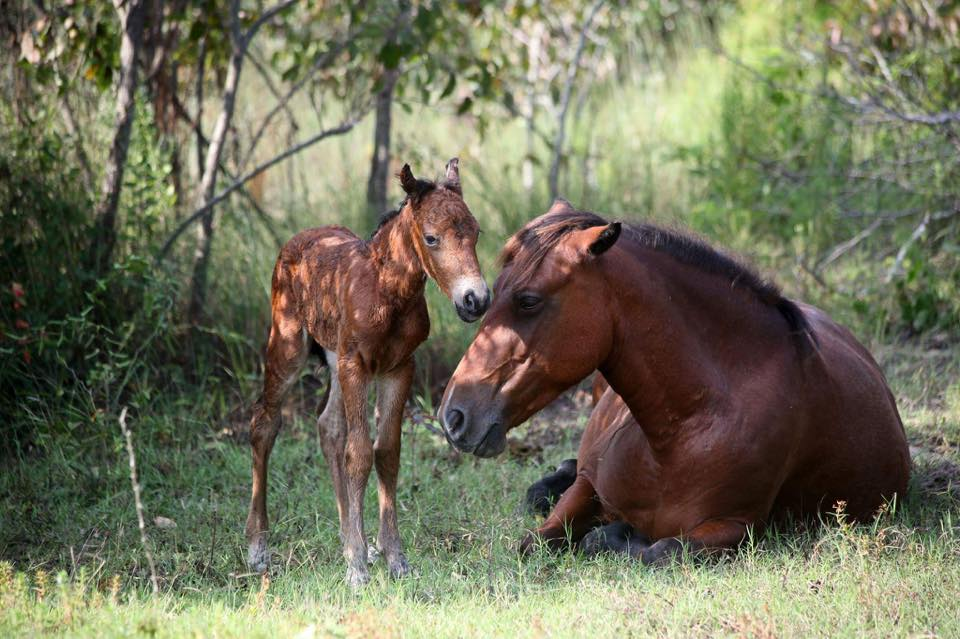 corolla baby horse 3_1535211145816.jpg.jpg