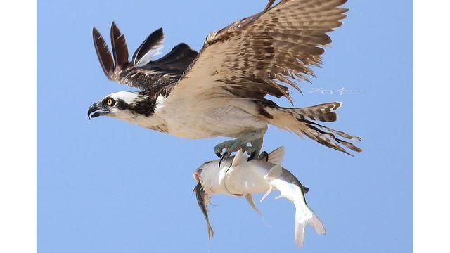 greg jowers osprey 3 tight_1533995612603.JPG_51419892_ver1.0_640_360 (1)_1534133746133.jpg.jpg