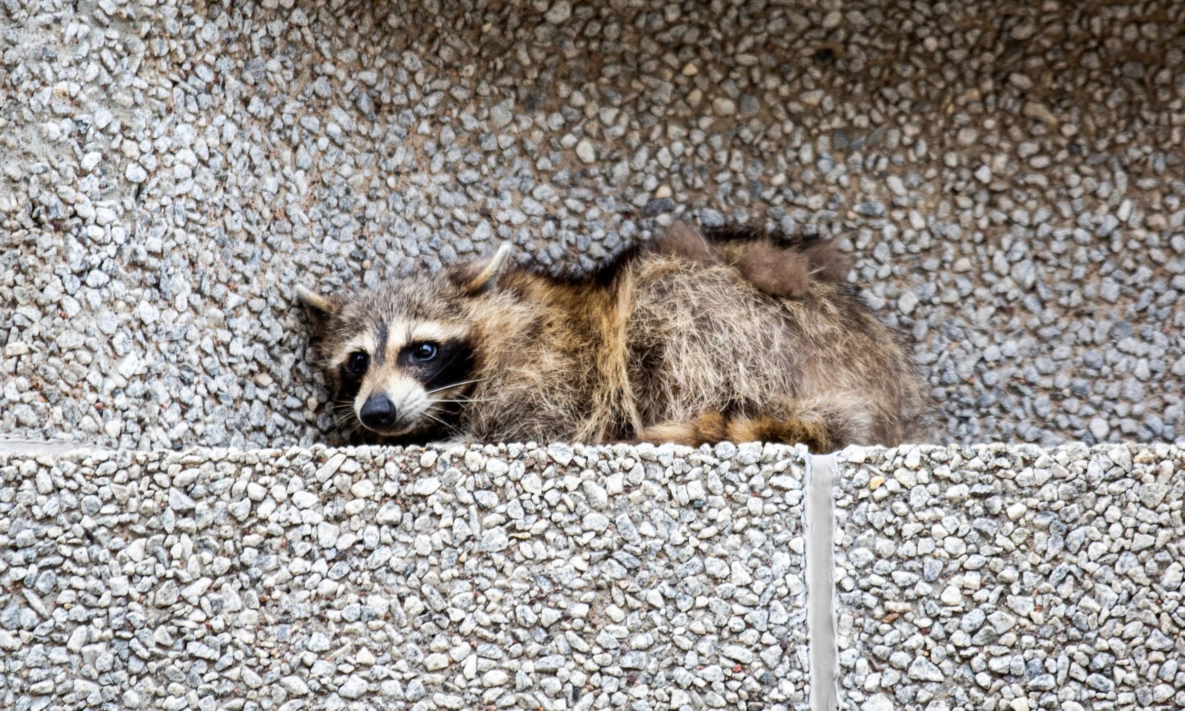 Stranded_Raccoon_49492-159532.jpg24749778