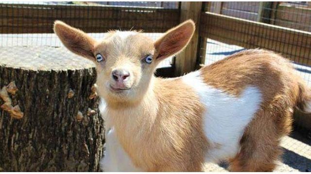 baby goat_1552671337961.JPG_77533756_ver1.0_640_360_1553259903308.jpg.jpg