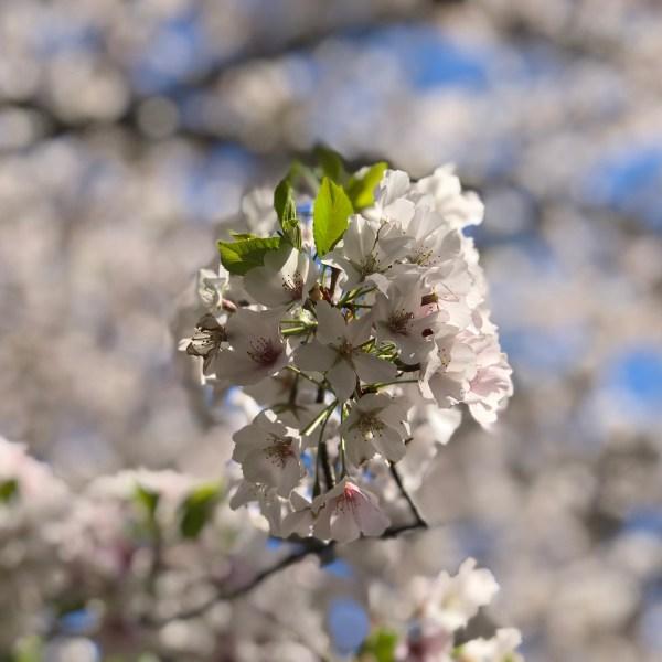 Cherry Blossom Virginia Beach Red Wing Park
