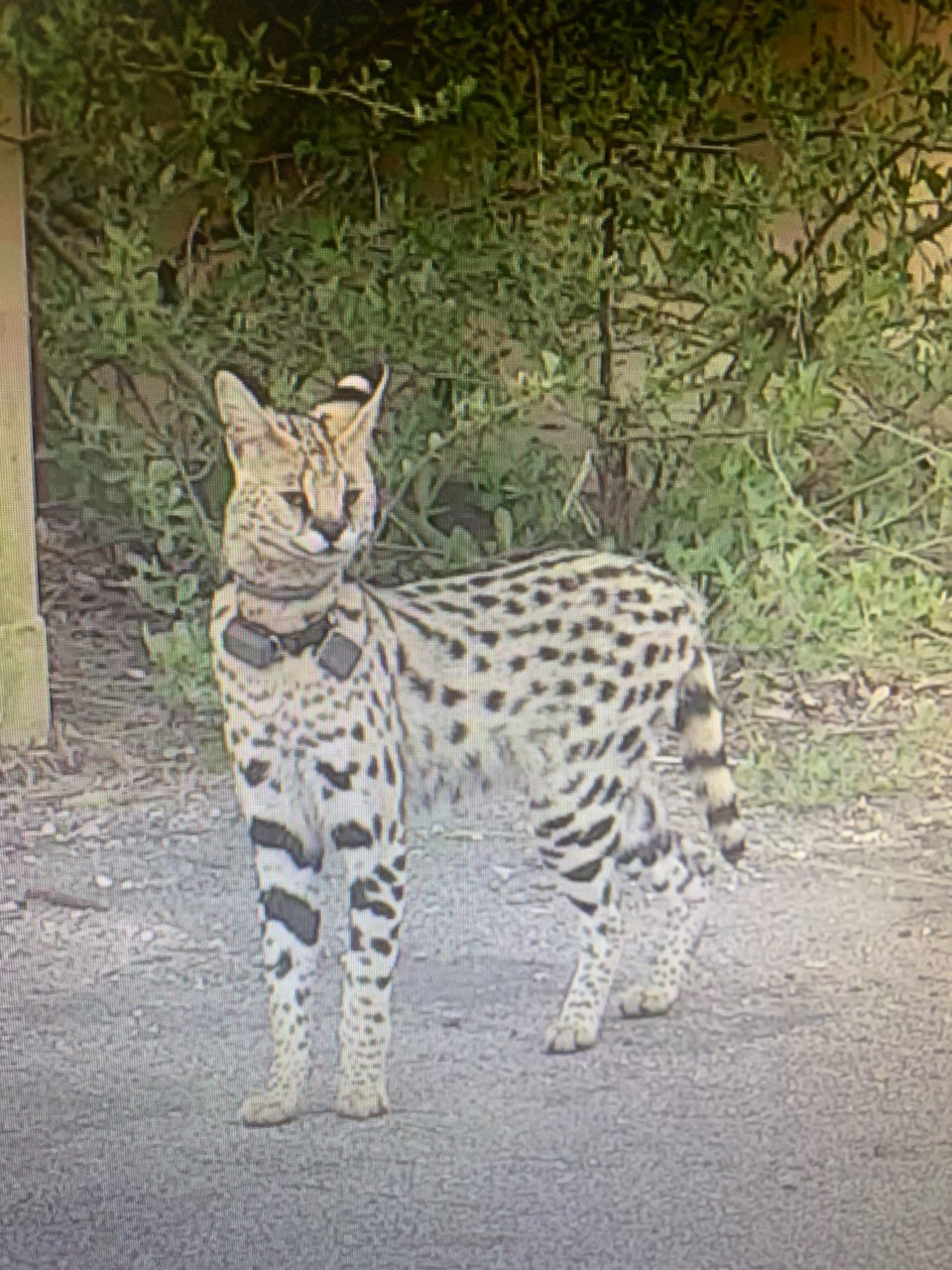 Exotic cat on the loose in Shore Drive area of Virginia Beach