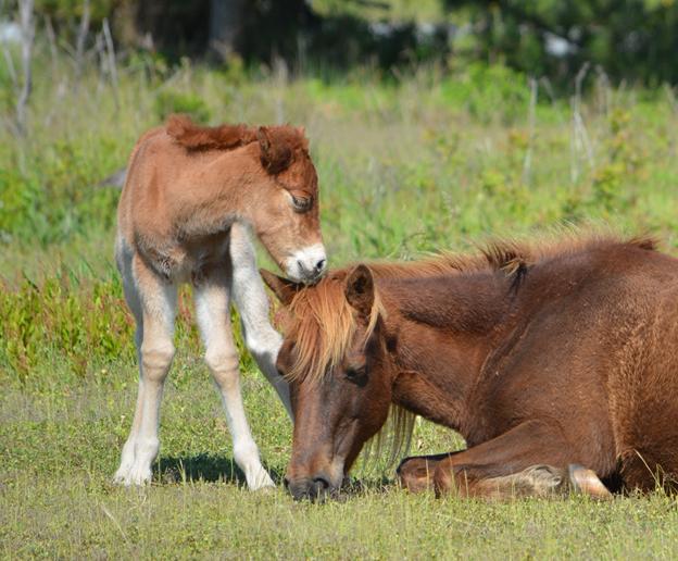 Asseateague new foal and Gokey GoGo Bones_1557962785365.png.jpg