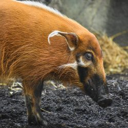Red river hogs brought in to breed at the Virginia Zoo