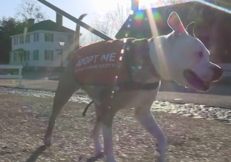 9-year-old pit bull mix CJ as 'K9 For A Day'