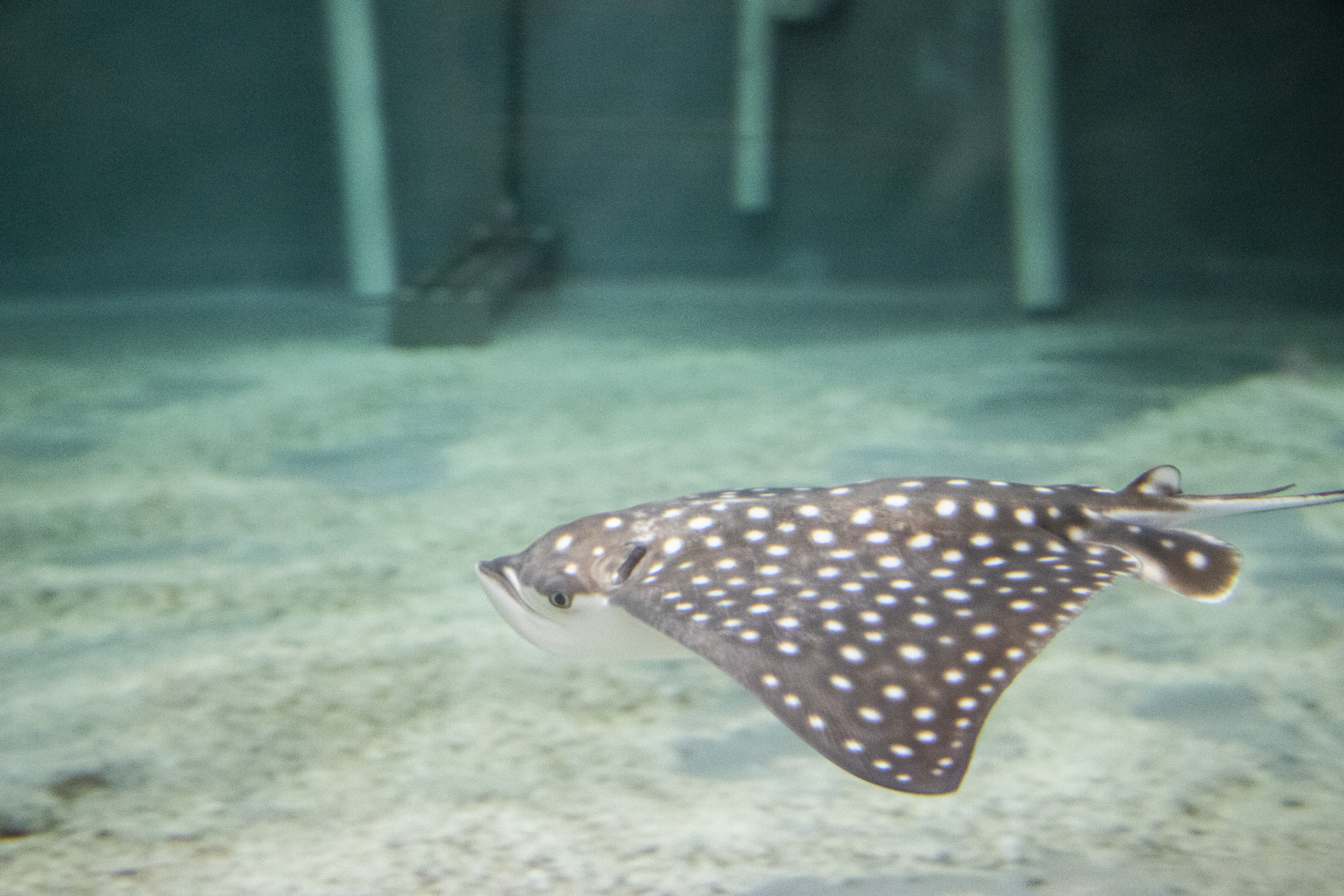 Bowling Green Biological Hours Halloween 2020 A newborn spotted eagle ray has died at the Virginia Aquarium