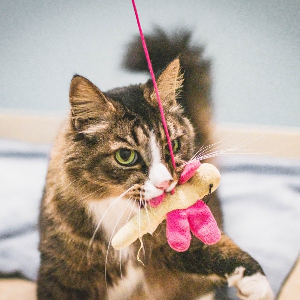 """""""Mortis"""" (9 years old) from the Peninsula SPCA is one cool cat!"""